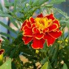 KIMIZA - 40+ RED BROCADE TAGETES MARIGOLD FLOWER SEEDS / LONG LASTING ANNUAL