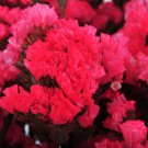 KIMIZA - 50+ ROSEY RED STATICE FLOWER SEEDS / LONG LASTING ANNUAL / GREAT GIFT