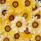 KIMIZA - 30+ GAZANIA ORANGE CREAM FLOWER SEEDS / DROUGHT TOLERANT / RESEEDING ANNUAL