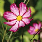 KIMIZA - 35+ COSMOS PINK PICOTEE FLOWER SEEDS / DROUGHT TOLERANT / LONG LASTING ANNUAL