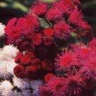 KIMIZA - 50+ RED TYCOON AGERATUM FLOWER SEEDS SELF SEEDING LONG LASTING ANNUAL
