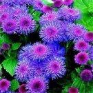 KIMIZA - 50+ PURPLE BLUE TYCOON AGERATUM FLOWER SEEDS SELF SEEDING LONG LASTING ANNUAL