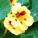 KIMIZA - NEW! 25+ JEWEL PEACH MELBA NASTURTIUM FLOWER SEEDS / LONG LASTING ANNUAL