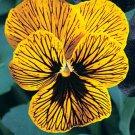 KIMIZA - NEW! 30+ VIOLA ANGEL TIGER EYE LARGE FLOWERED FLOWER SEEDS / SHADE PERENNIAL