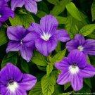 KIMIZA - 50+ BROWALLIA VIOLET BLUE FLOWER SEEDS / LONG LASTING ANNUAL
