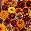 KIMIZA - NEW! 50+ AZTEC SUNSET MIX ZINNIA FLOWER SEEDS / LONG LASTING ANNUAL