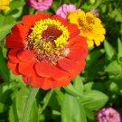 KIMIZA - NEW! 30+ GIANT NEON ORANGE ZINNIA FLOWER SEEDS / LONG LASTING ANNUAL