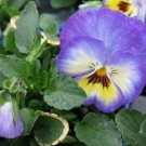 KIMIZA - NEW! 35+ BLUE ULTIMA RADIANCE PANSY FLOWER SEEDS / LONG LASTING ANNUAL