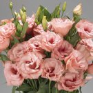 KIMIZA - 20+ LISIANTHUS MARIACHI APRICOT FLOWER SEEDS / ANNUAL / GREAT CUT FLOWER / GIFT