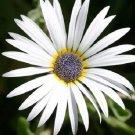 KIMIZA - 40+ ARTOTIS WHITE AFRICAN DAISY FLOWER SEEDS / LONG LASTING ANNUAL