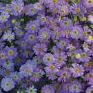 KIMIZA - 50+ BRACHYCOME LAVENDER BLUE FLOWER SEEDS / ANNUAL