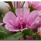KIMIZA - 30+ APPLEBLOSSOM PINK MALVA FLOWER SEEDS / PERENNIAL