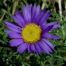 KIMIZA - 30+ TAHOKA DAISY FLOWER SEEDS / RESEEDING ANNUAL