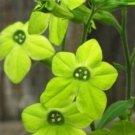 KIMIZA - 50+ GREEN NICOTIANA FRAGRANT FLOWER SEEDS / RESEEDING ANNUAL / FRAGRANT