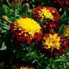 KIMIZA - 35+ FRENCH MARIGOLD CHAMPION HARMONY MAROON & YELLOW ANNUAL FLOWER SEEDS