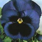 KIMIZA - 35+ NAVY BLUE SWISS GIANT ULLSWATER VIOLA FLOWER SEEDS / SHADE PERENNIAL