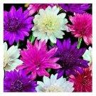 KIMIZA - 50+ Xanthemum Everylasting Flower Flower Seeds Mixture / Durable Annual