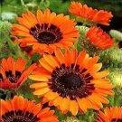 KIMIZA - 50+ VENIDIUM MONARCH OF THE VELDT CAPE DAISY ORANGE FLOWER SEEDS ANNUAL