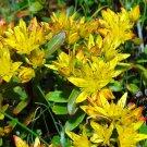 KIMIZA - 50+ Sedum CZAR'S Gold Flower Perennial Seeds / Rabbit Resistant / Ground Cover