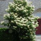 KIMIZA - 40+ JAPANESE TREE WHITE LILAC SEEDS / HARDY PERENNIAL LOVELY FRAGRANT / Syringa
