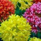 KIMIZA - 30+ INDIAN BLANKET DOUBLES GAILLARDIA FLOWER SEED MIX / PERENNIAL