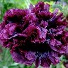 KIMIZA - 50+ BLACK PEONY SELF-SEEDING ANNUAL FLOWER SEEDS