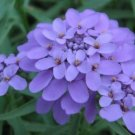 KIMIZA - 50+ IBERIS GIBRALTARICA EVERGREEN LILAC CANDYTUFT / DEER RESISTANT GROUND COVER