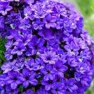 KIMIZA - 50+ Heliotrope Navy Blue Flowers Seeds / Perfume Perennial