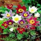 KIMIZA - New! 20+ Pulsatilla Pasque Flower Seed Mix