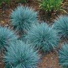 KIMIZA - 50+ BLUE FESCUE SEED /PERENNIAL / FESTUCA ORNAMENTAL GRASS / DROUGHT TOLERANT