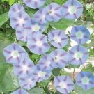 KIMIZA - NEW! 25+ CAPRICE MORNING GLORY FLOWER SEEDS / PERENNIAL