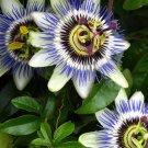 KIMIZA - 10+ Passiflora Caerulea Blue Passion Flower Seeds