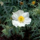 KIMIZA - 50+ WHITE PRICKLY POPPY FLOWER SEEDS / PERENNIAL / GIANT 4 INCH BLOOMS