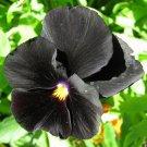 "KIMIZA - 35+ BLACK PANSY ""HALLOWEEN"" FLOWER SEEDS / ANNUAL / GOTH"