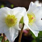KIMIZA - 15+ WHITE CHRISTMAS ROSE HELLEBORUS FLOWER SEEDS / WINTER BLOOMING PERENNIAL