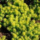 KIMIZA - 50+ SEDUM REFLEXUM FLOWER SEEDS / CONTAINER / DROUGHT TOLERANT PERENNIAL