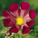 KIMIZA - 35+ COSMOS FLUTED PIED PIPER FLOWER SEEDS / DROUGHT TOLERANT