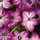 KIMIZA - 50+ PURPLE BI-COLOR NICOTIANA FRAGRANT FLOWER SEEDS / RESEEDING ANNUAL