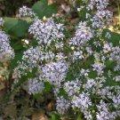 KIMIZA - 40+ ASTER DRUMMONDII FLOWER SEEDS / DEER RESISTANT PERENNIAL