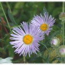 KIMIZA - 30+ ASTER BOLTONIA ASTEROIDES / PERENNIAL FLOWER SEEDS / DROUGHT TOLERANT