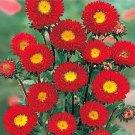 KIMIZA - 30+ ASTER KURENAI RED FLOWER SEEDS / Long Lasting ANNUAL