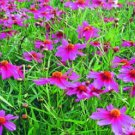 KIMIZA - 50+ COREOPSIS AMERICAN DREAM LONG LASTING RE-SEEDING ANNUAL FLOWER SEEDS