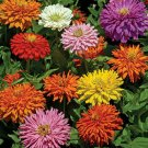 KIMIZA - NEW! 50+ CACTUS DOUBLE MIX ZINNIA FLOWER SEEDS / 4 INCH QUILLED FLOWERS / ANNUAL