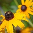 KIMIZA - 50+ HELENIUM PURPLE HEADED TINY DANCER PERENNIAL FLOWER SEEDS