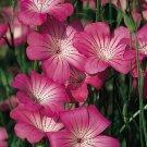 KIMIZA - 50+ AGROSTEMMA ROSE QUEEN FLOWER SEEDS / SELF-SEEDING ANNUALS