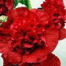 KIMIZA - 30+ SCARLET GIANT DANISH DOUBLE HOLLYHOCK FLOWER SEEDS / PERENNIAL