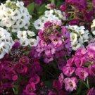 KIMIZA - 50+ CLEAR CRYSTAL MIX SWEET FRAGRANT ALYSSUM FLOWER SEEDS / PERENNIAL