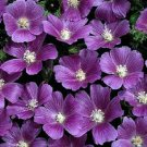 KIMIZA - 20+ ANODA CRISTATA FLOWER SEEDS / ANNUAL / MARVELOUS COLORING