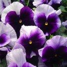 KIMIZA - 35+ SWISS GIANT ULLSWATER BEACONSFIELD PANSY FLOWER SEEDS / SHADE PERENNIAL