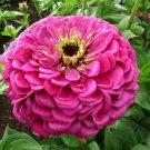 KIMIZA - NEW! 35+ BENARY'S GIANT PINK ZINNIA FLOWER SEEDS / LONG LASTING CUT FLOWERS